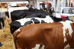 KoeienmarktWoerden20131023-02131