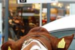 KoeienmarktWoerden20131023-02132