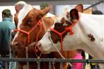 KoeienmarktWoerden20131023-02143