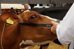 KoeienmarktWoerden20131023-02171