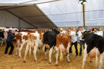 KoeienmarktWoerden20131023-02175