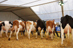KoeienmarktWoerden20131023-02176
