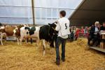 KoeienmarktWoerden20131023-02179