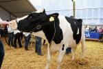 KoeienmarktWoerden20131023-02189
