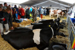 KoeienmarktWoerden20131023-02218